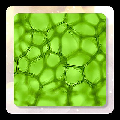 clorofila lichida