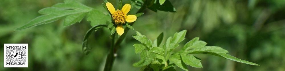 Despre alergia la ambrozie