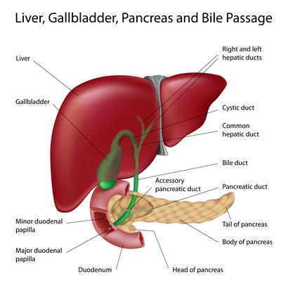 liver disease s2 what is liver disease - De ce nu poate exista viata fara ficat?