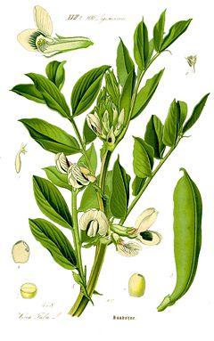 Planta Vicia Faba stimulează secreția de hormon de creștere HGH